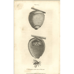 1803 Vespa Holsatica With Views Of Nest Shaw, Griffiths Engraving