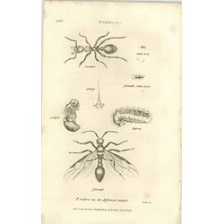 1803 Formica Sting Pupa Larva Female Shaw, Griffiths Engraving