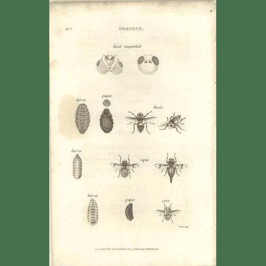 1803 Oentrus Bovis, Equi, Pupa Larva Shaw, Griffiths Engraving