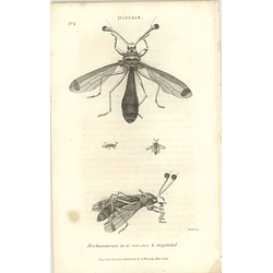 1803 Diopsis Ichneumonea Shaw, Griffiths Engraving