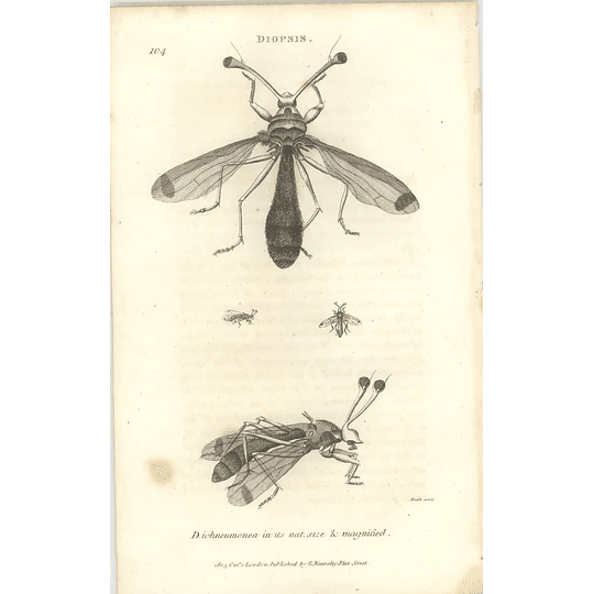 1803 Diopsis Ichneumonea Shaw, Griffiths Engraving