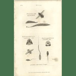 1803 Musca Chamoeleon Pendula Larva Pupa Shaw, Griffiths Engraving