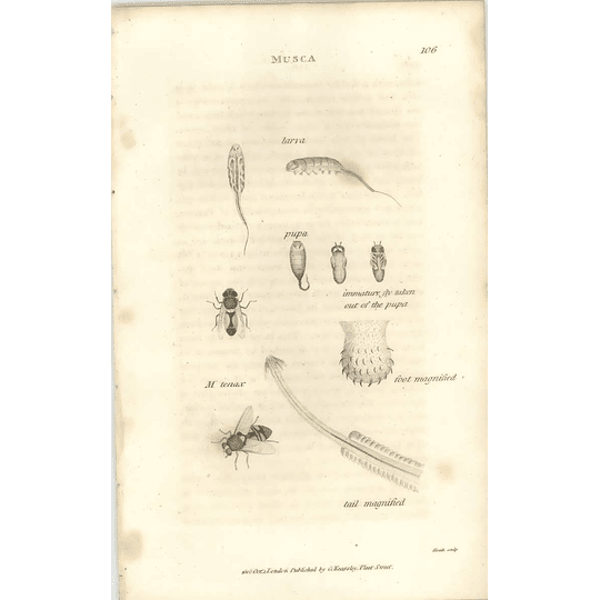 1803 Musca Tenax Foot Tail Shaw, Griffiths Engraving