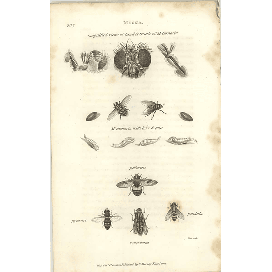 1803 Musca Carnaria, Pellucens, Vomistoria Shaw, Griffiths Engraving