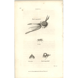 1803 Empis Magnified Head Shaw, Griffiths Engraving
