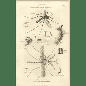 1803 Culex Pupa Larva Common Gnat Shaw, Griffiths Engraving