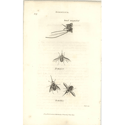 1803 Bombylius Major, Medius Shaw, Griffiths Engraving