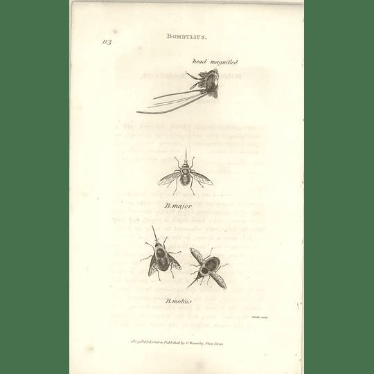 1803 Bombylius Major, Medius Shaw, Griffiths Engraving