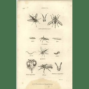 1803 Asilus Crabroniformis, Flavus Shaw, Griffiths Engraving