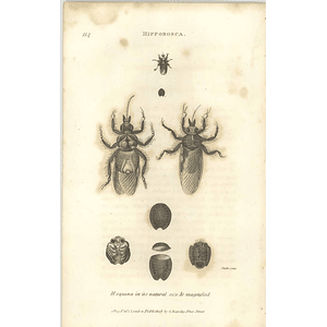 1803 Hippobosca Equina Natural And Enlarged Shaw, Griffiths Engraving