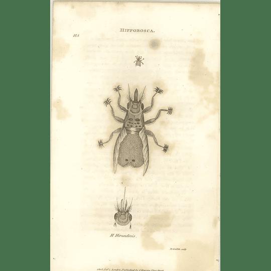 1803 Hippobosca Hirundinis Shaw, Griffiths Engraving