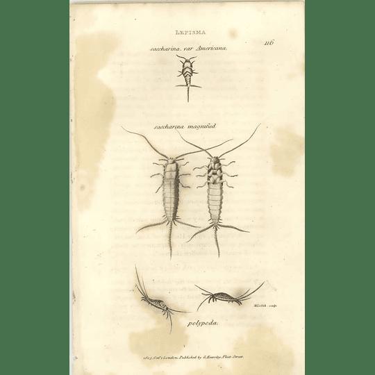 1803 Lepisma Saccharina, Polypeda Shaw, Griffiths Engraving
