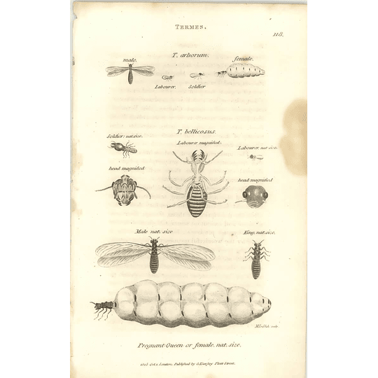1803 Termes Pregnant Queen, Bellicosus, Arborum Shaw, Griffiths Engraving