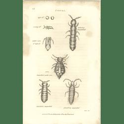1803 Podura Arborca Magnified , Aquatica, Plumbea Shaw, Griffiths Engraving