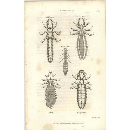 1803 Pediculus Wildgoose, Moorhen, Shag, Cormorant Shaw, Griffiths Engraving