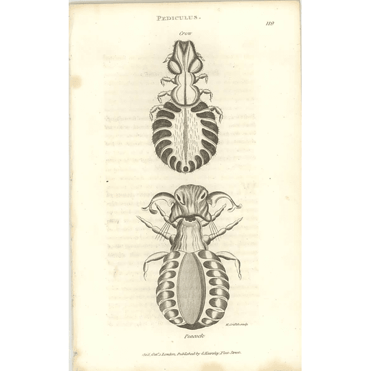 1803 Pediculus Crow And Peacock Shaw, Griffiths Engraving