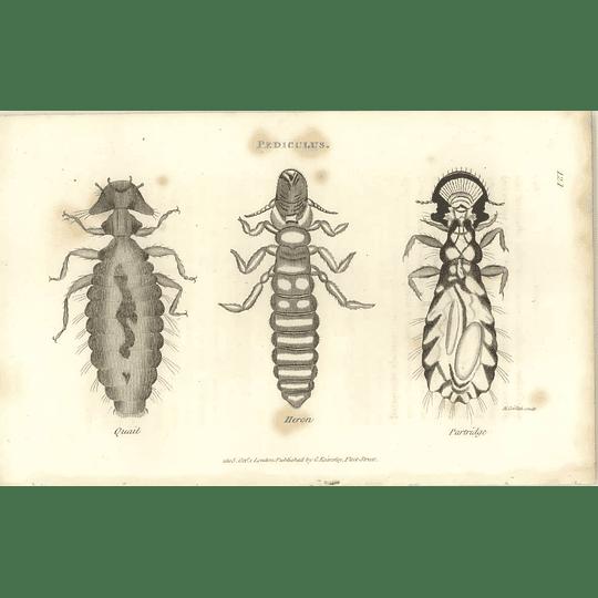 1803 Pediculus Quail, Heron, Partridge Shaw, Griffiths Engraving