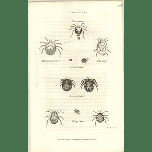 1803 Hydrachna Buccinator, Maculata Degeer, Flaccida Shaw, Griffiths Engraving