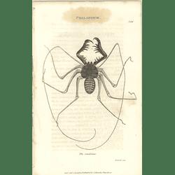 1803 Phalangium Ph. Reniforme Shaw, Griffiths Engraving