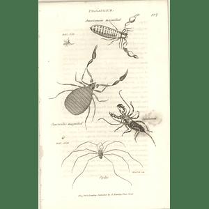 1803 Phalangium Americanum, Caudatum, Opilio, Caneroides Shaw, Griffiths Engraving