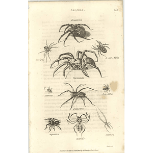 1803 Aranea Diadema, Tarantula, Palustris Shaw, Griffiths Engraving