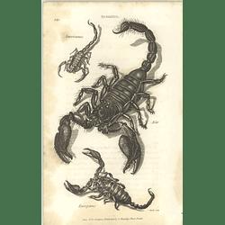 1803 Scorpio Americanus, Afer, Europoeus Shaw, Griffiths Engraving