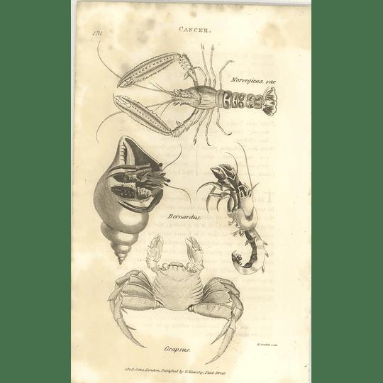 1803 Cancer Norvegicus, Bernardus, Grapsus Shaw, Griffiths Engraving