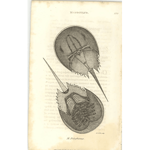 1803 Monoculus Polyphemus Shaw, Griffiths Engraving