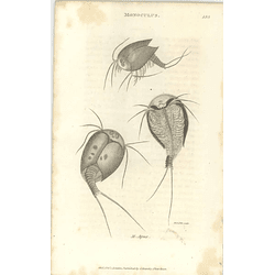 1803 Monoculus Apus Shaw, Griffiths Engraving