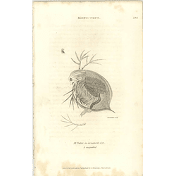 1803 Monoculus Pulex Magnified Shaw, Griffiths Engraving