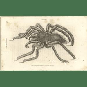 1803 Aranea Avicularia Shaw, Griffiths Engraving