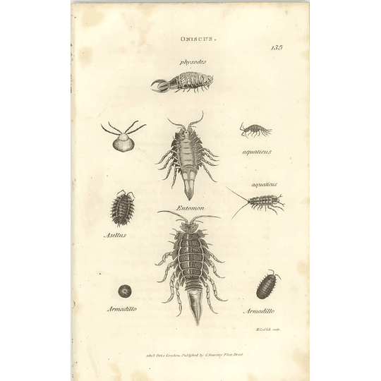 1803 Oniscus Physodes, Entomon, Armadillo Shaw, Griffiths Engraving