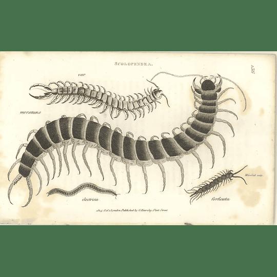 1803 Scolopendra Morsitans, Electrica, Forficata Shaw, Griffiths Engraving