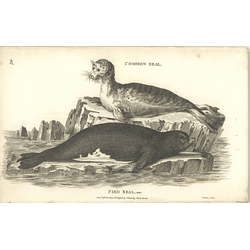 1800 Pied Seal And Harp Seal Shaw Engraved Mammal Print
