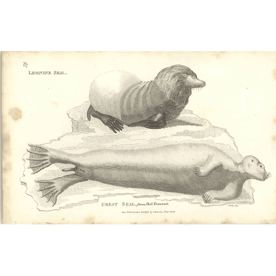 1800 Leonine Seal And Great Seal Shaw Engraved Mammal Print