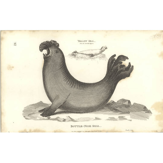 1800 Bottle Nose Seal And Yellow Seal Shaw Engraved Mammal Print