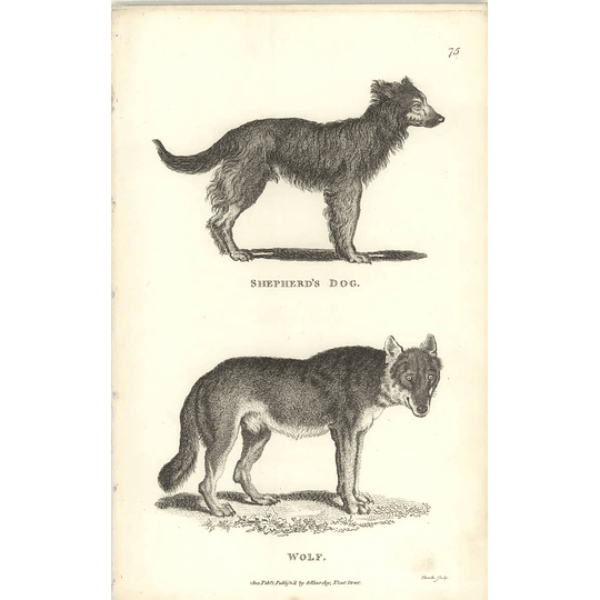 1800 Shepherds Dog And Wolf Shaw Engraved Mammal Print