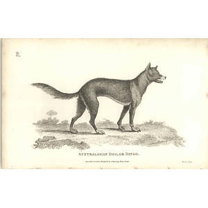 1800 Australasia Dog, Or Dingo Shaw Engraved Mammal Print