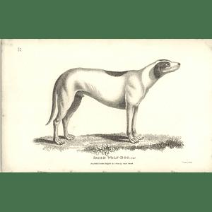 1800 Irish Wolff Dog Shaw Engraved Mammal Print