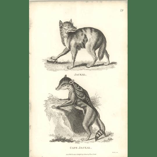 1800 Jackal And Cape Jackal Shaw Engraved Mammal Print