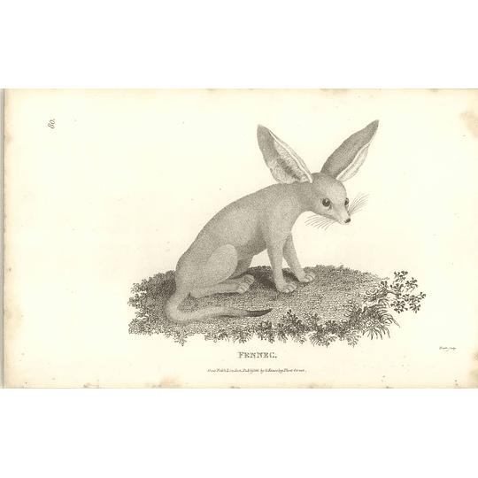1800 Fennec Shaw Engraved Mammal Print