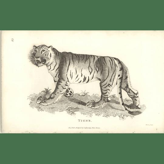 1800 Tiger Shaw Engraved Mammal Print