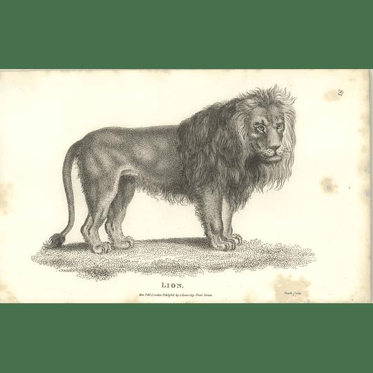 1800 Lion Shaw Engraved Mammal Print