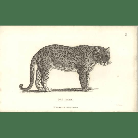 1800 Panther Shaw Engraved Mammal Print