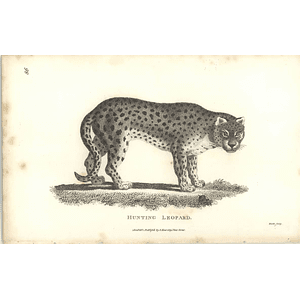 1800 Hunting Leopard Shaw Engraved Mammal Print