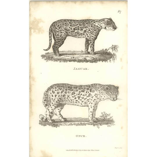 1800 Jaguar And Once Shaw Engraved Mammal Print