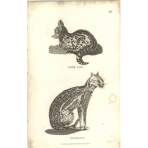 1800 Cape Cat And Ocelot Shaw Engraved Mammal Print