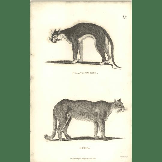 1800 Black Tiger And Puma Shaw Engraved Mammal Print