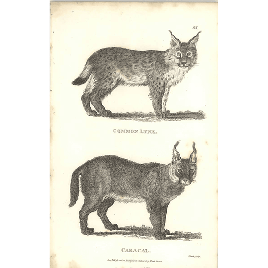 1800 Common Lynx And Caracal Shaw Engraved Mammal Print