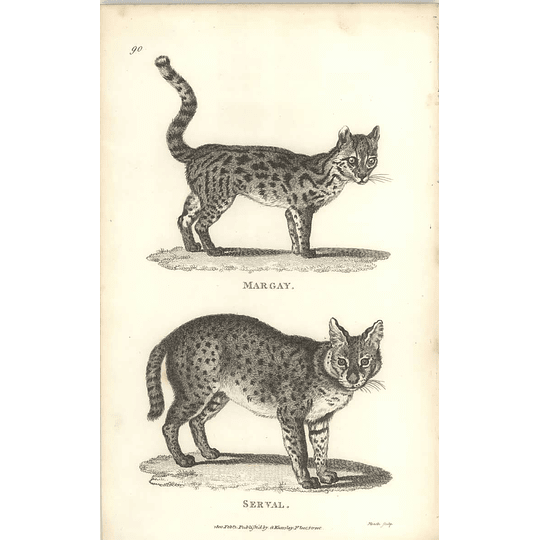 1800 Margay And Serval Cat's Shaw Engraved Mammal Print